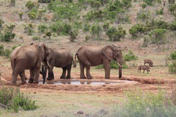 Olifanten Addo Elephant Park, Zuid-Afrika
