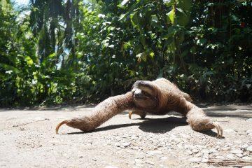 Luiaard in Costa Rica