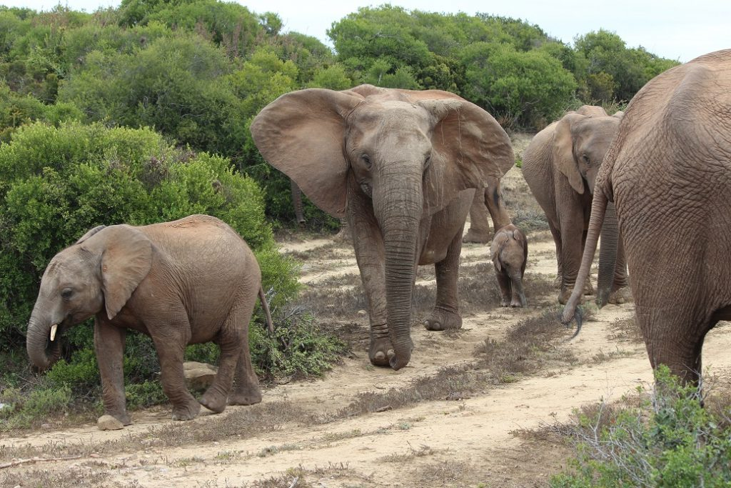 Olifanten in Addo Elephant Park, Zuid-Afrika