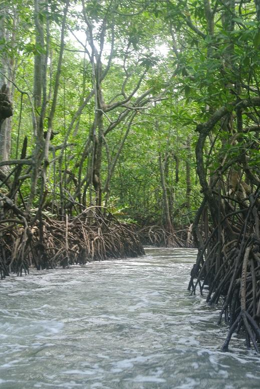Mangrove bossen, Corcovado, Costa Rica