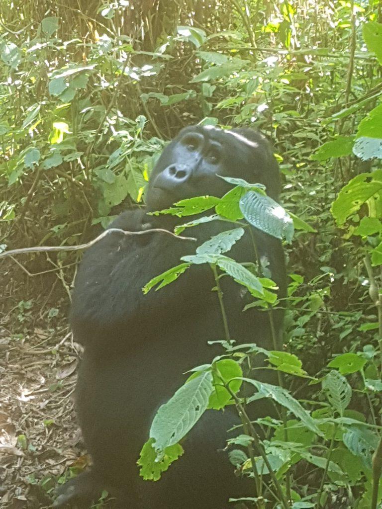 Gorilla Bwindi Impenetrable Park