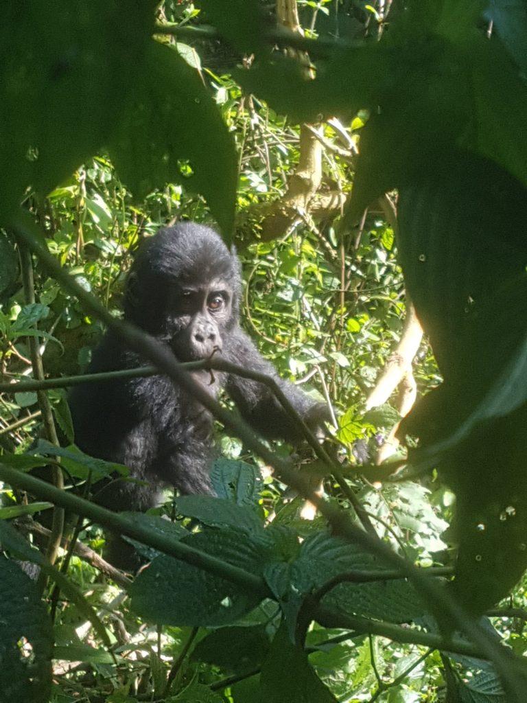 Baby gorilla Bwindi Impenetrable Park