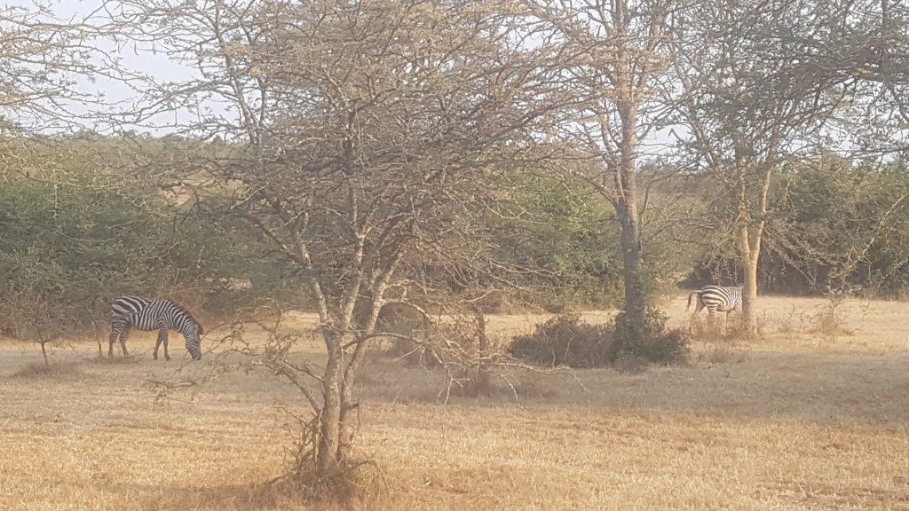 Zebra's in lake Mburo, Uganda
