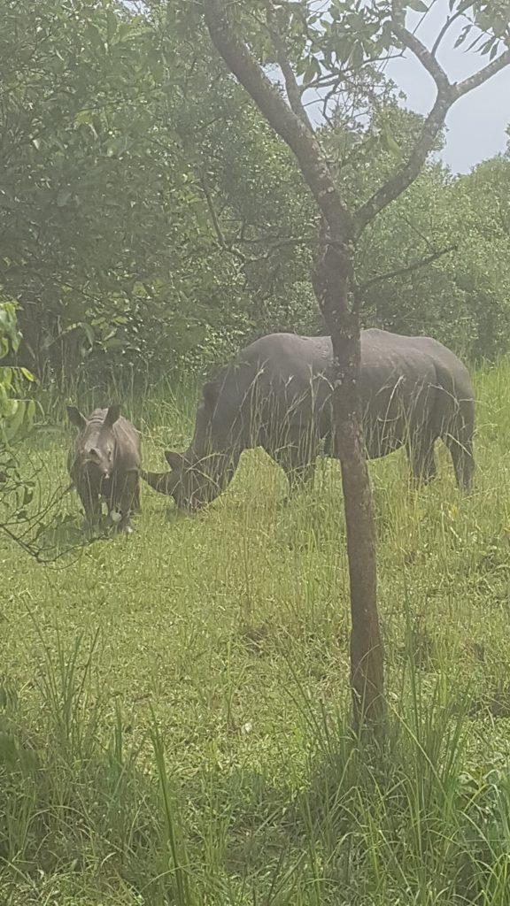 Neushoorns in Ziwa Rhino Sanctuary