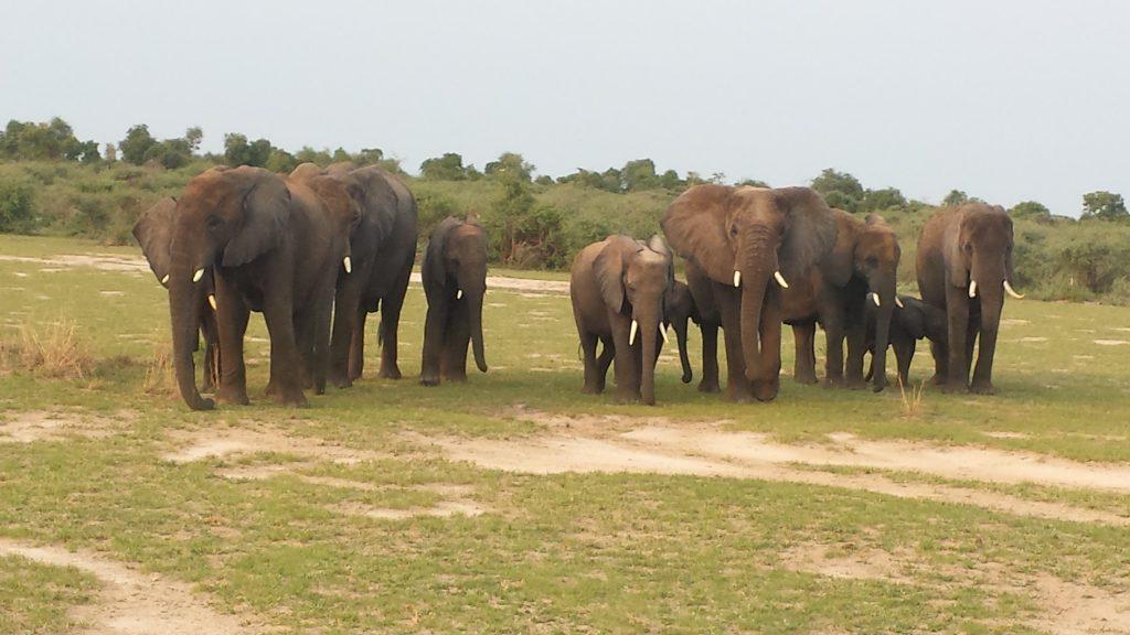 Olifanten in Murchison Falls NP, Uganda