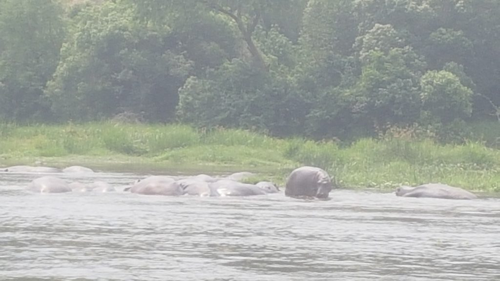 Nijlpaarden Murchison Falls