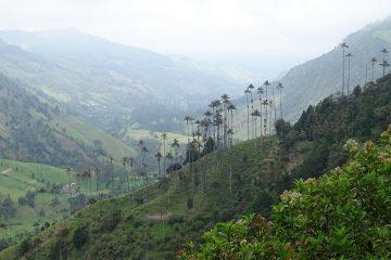 Waspalmen in Valle de Cocora, Salento, Colombia