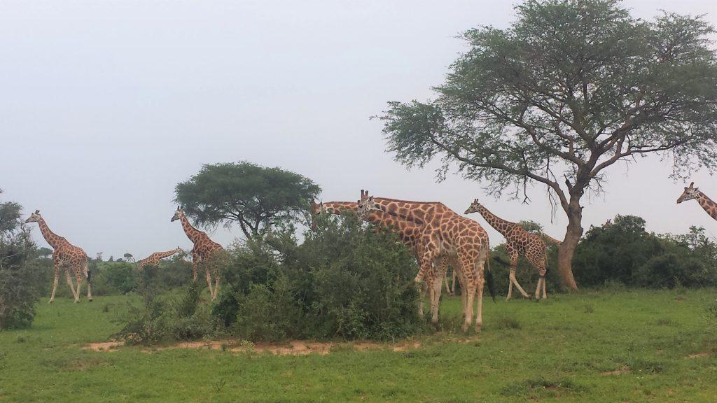 Giraffen in Murchison Falls NP, Uganda