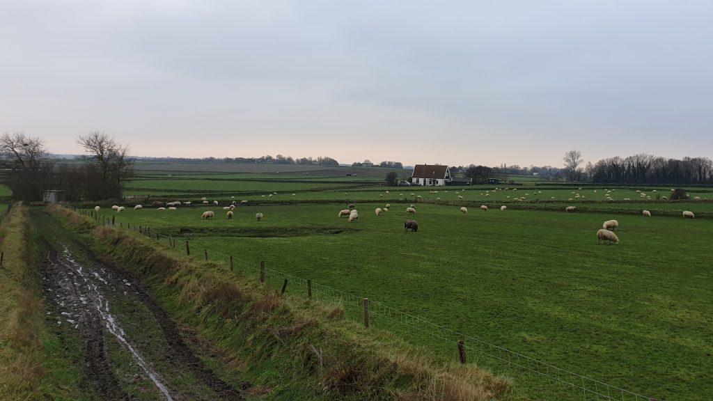Wandelen langs de Texelse schapen op uitgestrekte weides in de Hoge Berg op Texel