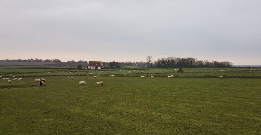 Texelse schapen op uitgestrekte weides in de Hoge Berg op Texel
