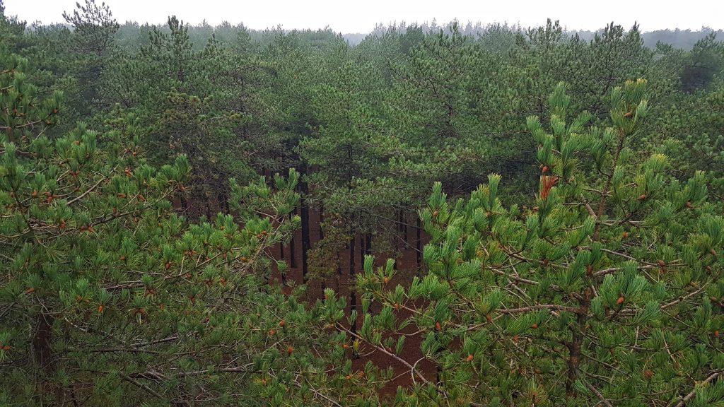 Dennenbos Texel vanuit uitkijktoren Fonteinsnol