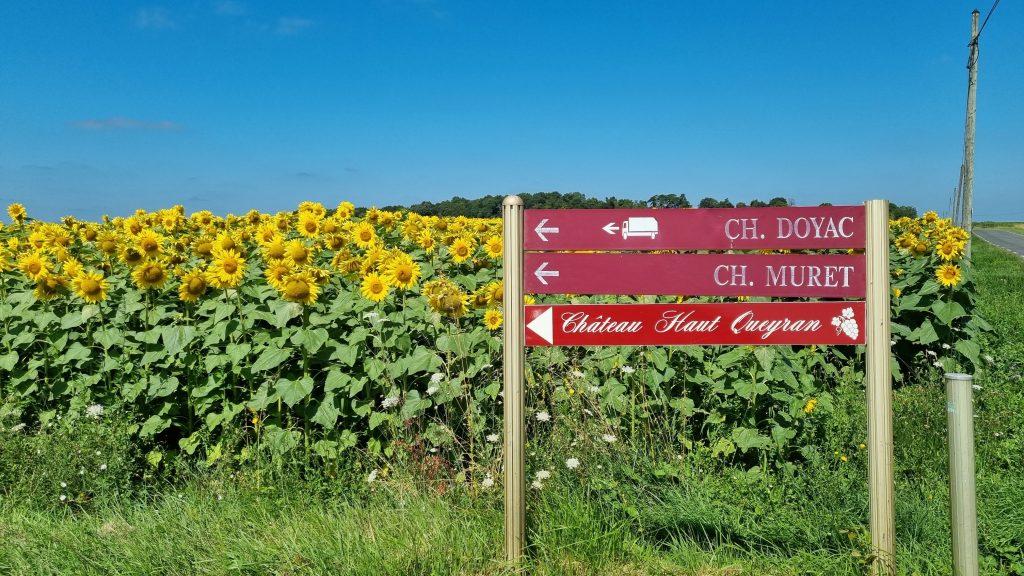 Zonnebloemen in Médoc Frankrijk